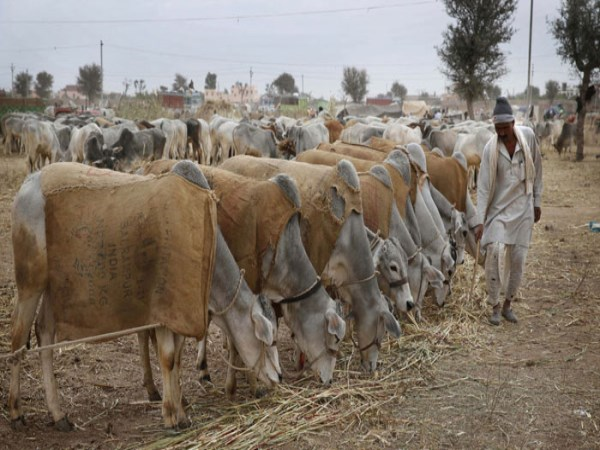 man-arrested-for-allegedly-raping-cow-in-madhya-pradesh