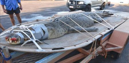 /australian-rangers-capture-giant-600-kg-crocodile