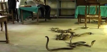 60-snakes-found-in-schools-kitchen-in-maharashtras-hingoli