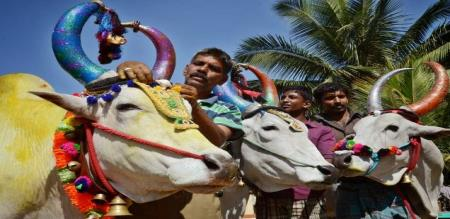 Jallikattu gets underway in Pudukottai